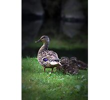 Duck and Ducklings Photographic Print
