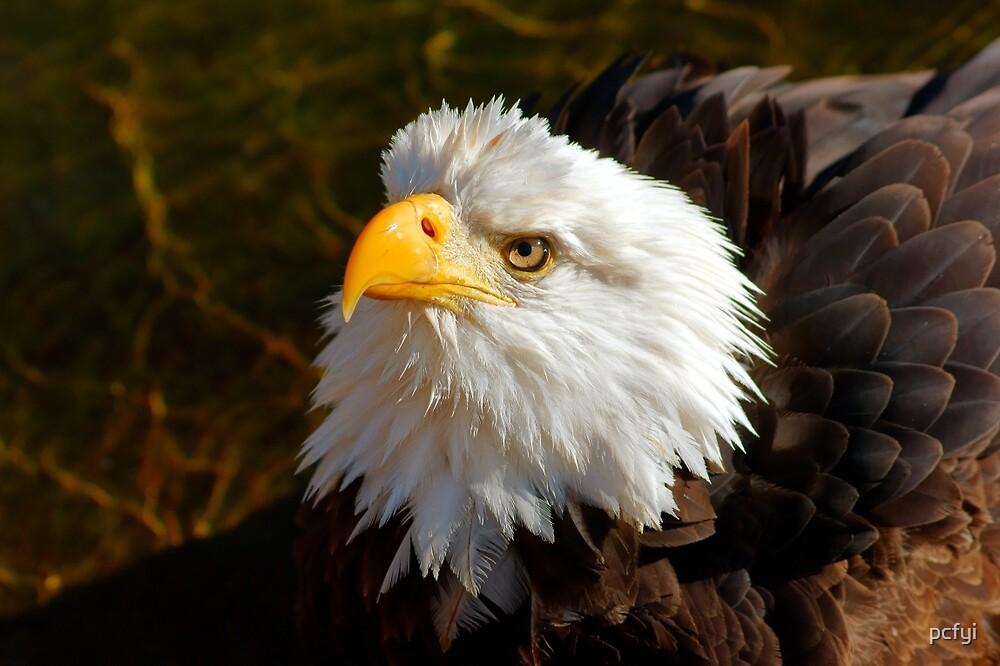Bald Eagle in Splendor by pcfyi