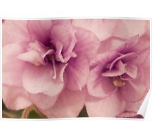 African Violet Macro Poster