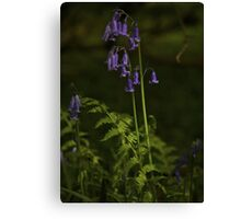 Two Bluebells in Prehen Woods, Derry Canvas Print