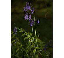 Two Bluebells in Prehen Woods, Derry Photographic Print