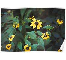 Yellow Daisies Poster