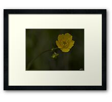 Meadow Buttercup - Burntollet Woods, County Derry Framed Print