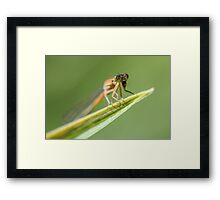 Big Eyed Dragonfly Framed Print