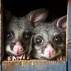 """""""Poppy & Ivy"""" Brushtail Possums by Amber  Williams"""