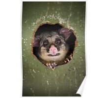 """Fatso"" Brushtail Possum Poster"