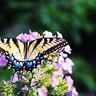 Swallowtail Butterfly by L.D. Franklin