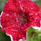 Red Petunia by Richard Keech