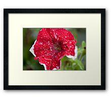 Red Petunia Framed Print