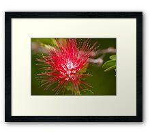 BottleBrush Flower Framed Print