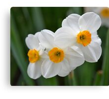 Three Miniature Daffodils Canvas Print
