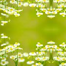 Philadelphia Fleabane Wildflowers in Soft Focus by Beverly Claire Kaiya