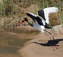 Saddle-Billed Stork by Vickie Burt