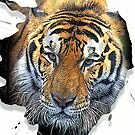tiger by redboy