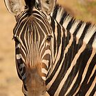 Chobe Zebra Portrait by Jennifer Sumpton