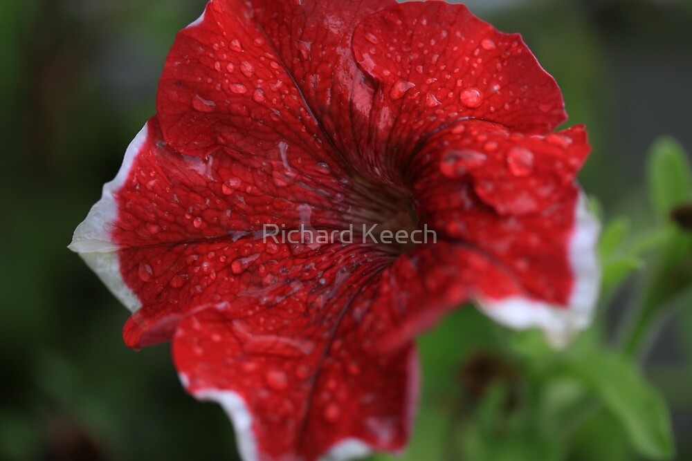 Rain soaked petunia's by Richard Keech