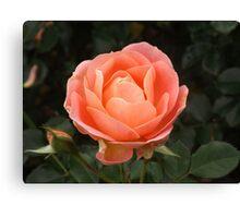 Pristine Apricot Rose Canvas Print