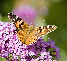 Painted Lady enjoying the view by Delfino