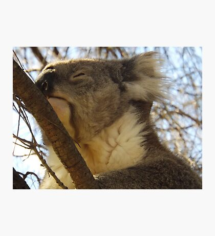 The Great Koala Photographic Print