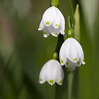 snowdrops by gmws