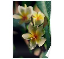 Frangipani Out In The Rain Poster