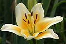 Beauty Of The Lily by coffeebean