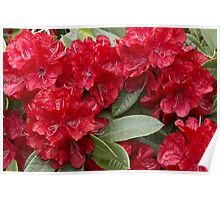 Rhododendron 'Bibiani' in Full Bloom Poster
