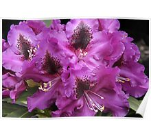 Rhododendron 'Purple Splendour' Flowerhead Close-up Poster