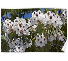 Rhododendron 'Sappho' in Full Bloom Poster