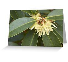 Star Aise (Illicium verum) Greeting Card