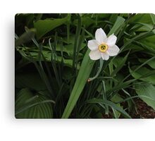 Mini Daffodil Canvas Print