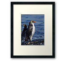 Royal Penguin - Macquarie Island Framed Print