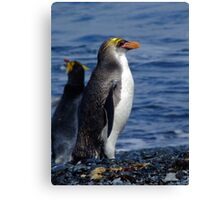 Royal Penguin - Macquarie Island Canvas Print
