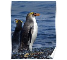 Royal Penguin - Macquarie Island Poster