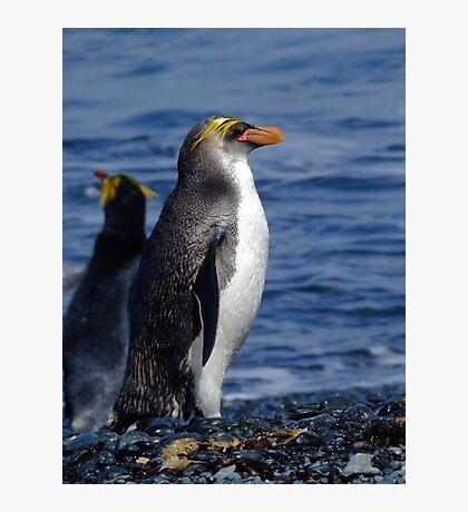 Royal Penguin - Macquarie Island Photographic Print