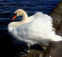 proud swan by Lesleymc77