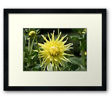Yellow Dahlia close up Framed Print