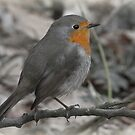 Little Robin Redbreast by Thea 65