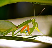 Praying Mantis 2. by Alison Hill
