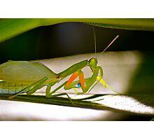 Praying Mantis 2. Photographic Print