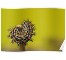 Spotted Fritillary Caterpillar Poster