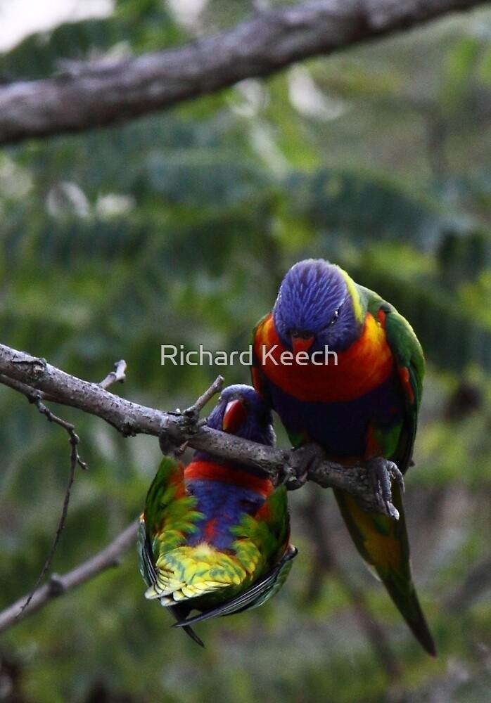 Rainbow Lorikeets by Richard Keech