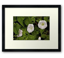 Sea Bindweed, Muckross Head, Donegal Framed Print