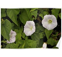 Sea Bindweed, Muckross Head, Donegal Poster