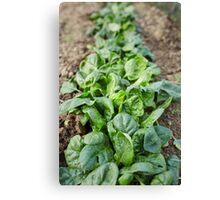 Spinach in the garden Canvas Print