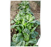 Spinach in the garden Poster
