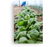 Spinach harvest Canvas Print