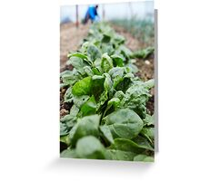 Spinach harvest Greeting Card