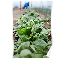 Spinach harvest Poster