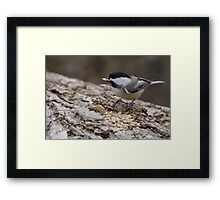 Chickadee 1 Framed Print